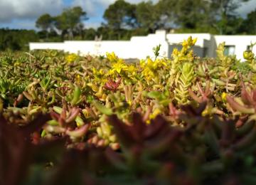 Plaque de sédum sur toiture végétalisée