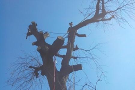 Abattage d'un arbre sec sur pied à Mougins