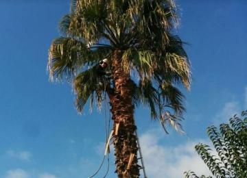 Taille de palmier sain ou malade à Nice / Cannes / Biot / Antibes (06)