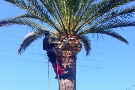Taille de palmiers en boule à Mandelieu (06)