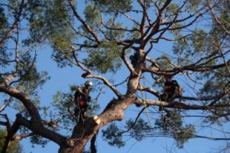 Elagage d'un gros pin d'Alep au Cap d'Antibes