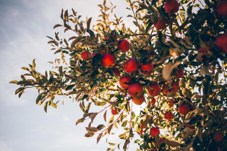 Taille des arbres fruitiers : ce qu'il faut savoir