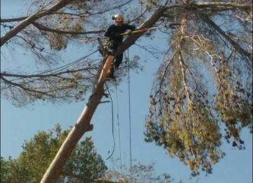 Elagage d'arbre pin dans les Alpes Maritimes (06) - Clean Jardin