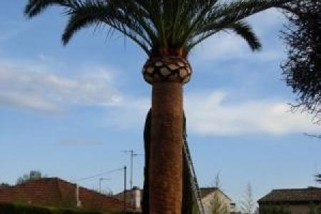 Taille d'entretien de palmier à Mougins (06)