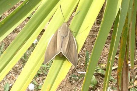 Traitement palmier contre le papillon à Cannes