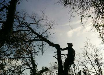 Elagage difficile de plusieurs chênes à Antibes (06)