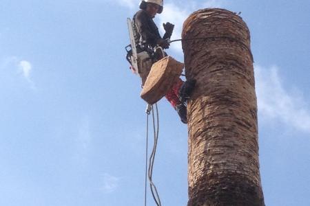 Abattage délicat de palmier en hauteur près de Nice (06)