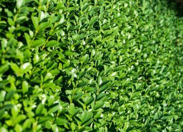 Elagage et taille de haies - Clean Jardin - Antibes / Biot / Nice 06