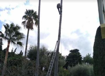 Taille de palmier en hauteur - Clean Jardin