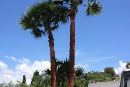 Taille de palmiers washingtonias près de Nice