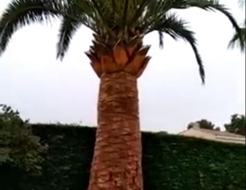 Taille de palmier Phoenix Canariensis à Antibes (06)