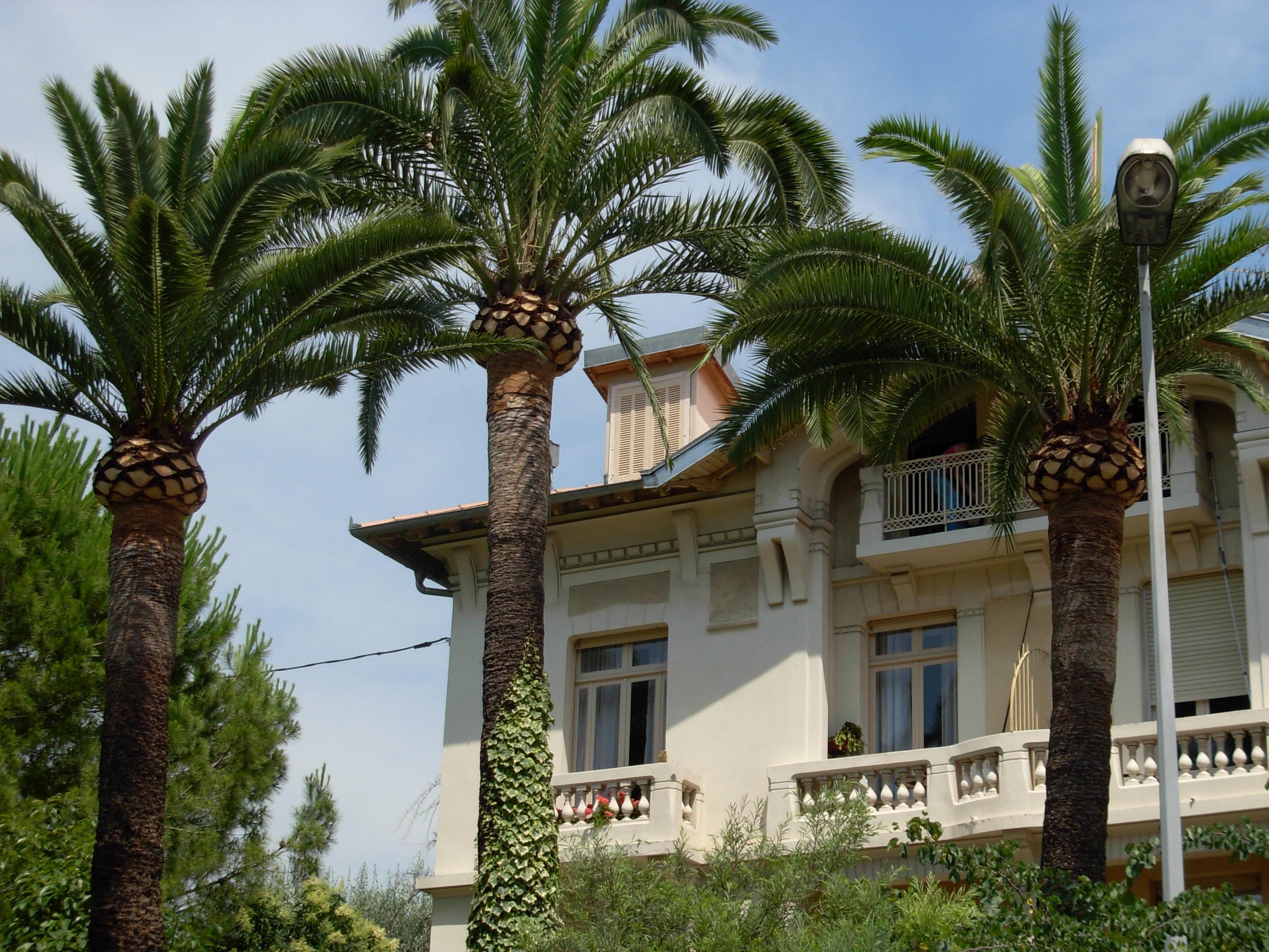 Traitement du charançon du palmier